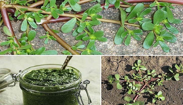 Todos pensam que é uma erva daninha… Mas na realidade é uma erva quase mágica!