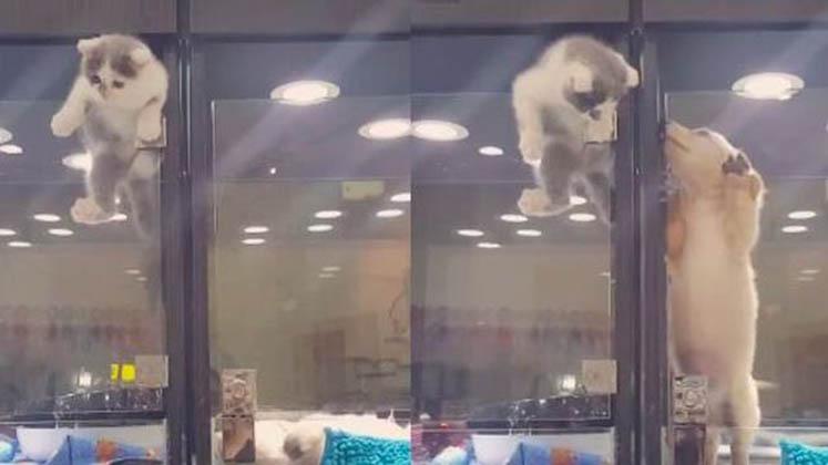 Este gatinho fez uma fuga impressionante para ir ter com o seu amigo cão! É incrível como conseguiu!