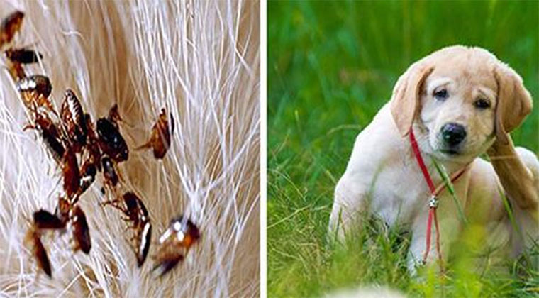 Faz isto e livra o teu cão de pulgas e carraças para sempre! Económico e eficaz!