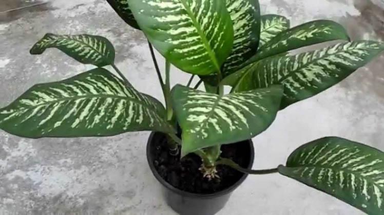 Tens esta planta em casa? Tens que ter cuidado! Ela pode matar uma criança e um adulto em menos de 15 minutos!