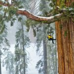 Esta árvore de 3200 anos é tão grande que nunca tinha sido registada numa única foto… Até agora! É impressionante!
