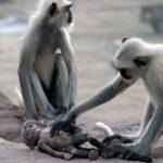 Quando a mãe macaco percebeu que o seu bebé não se movia, o que a câmara captou é impressionante! Que momento incrível!