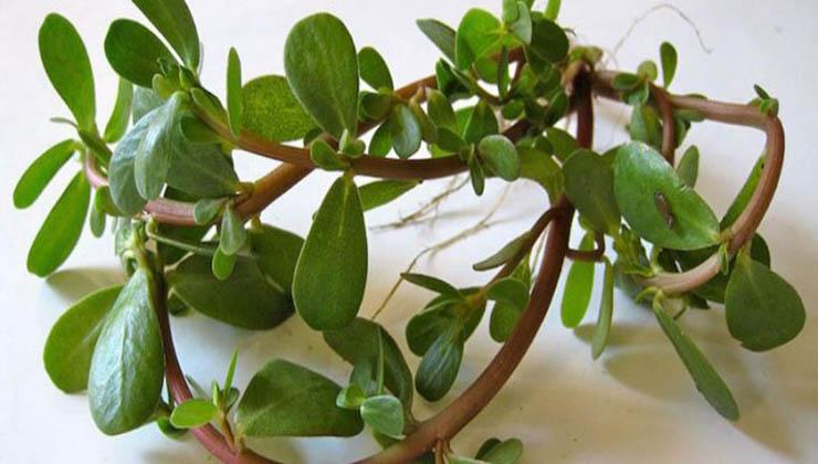 Cientistas descobrem que esta planta comum que muitos ignoram é um super-alimento!