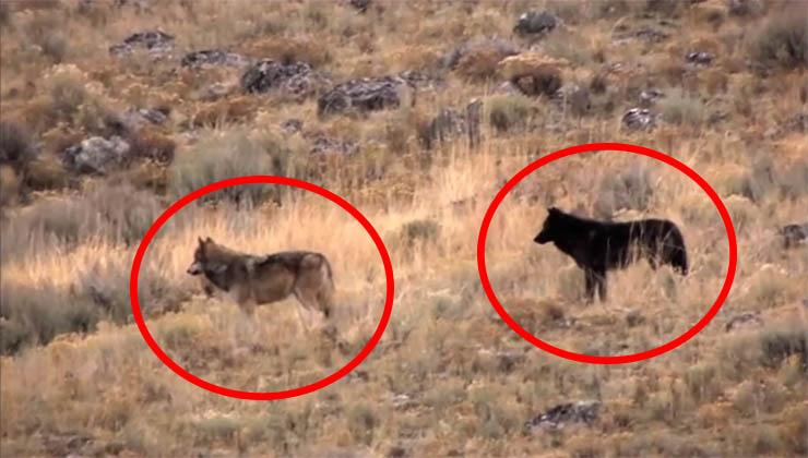 Estes lobos fizeram algo impensável e evitaram uma catástrofe!