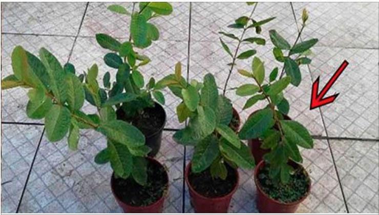 Muitos têm esta planta… Mas não sabem que ela é poderosa para tratar diabetes, pressão alta e problemas de má circulação!