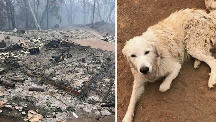 Cão pastor ficou no incêndio para guardar o rebanho… Quando o dono o encontrou… Não queria acreditar!