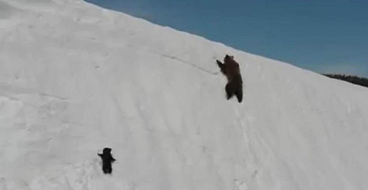 A determinação deste pequeno urso é impressionante…