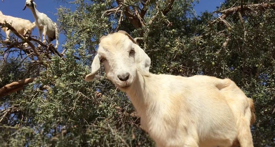 Quantas cabras achas que cabem em cima de uma árvore?