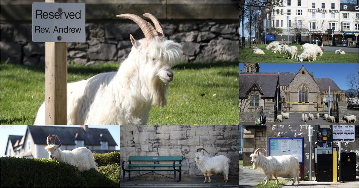 Cabras controlam as ruas do País de Gales durante a quarentena