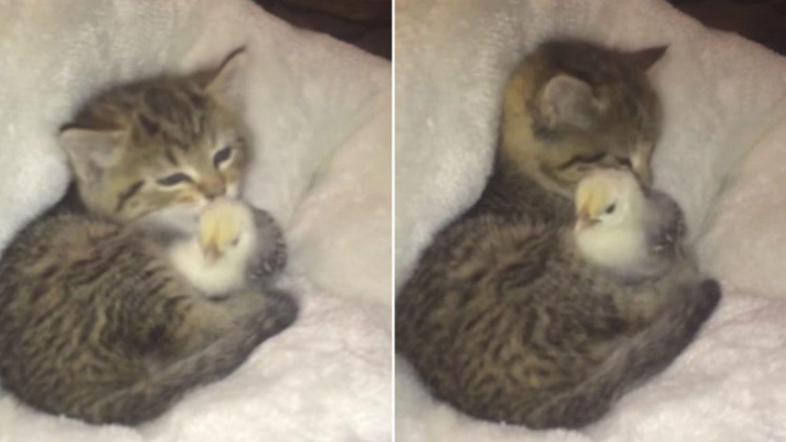 Gatinho e Pintainho tornam-se amigos inseparáveis
