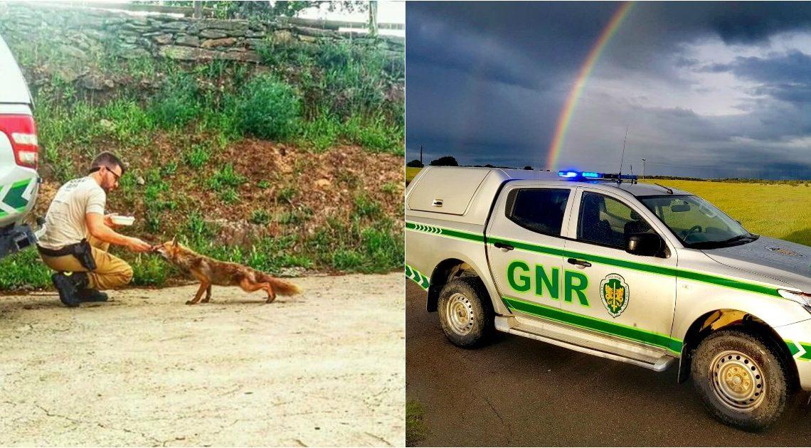 Raposa esfomeada aproxima-se de militar da GNR para ser alimentada