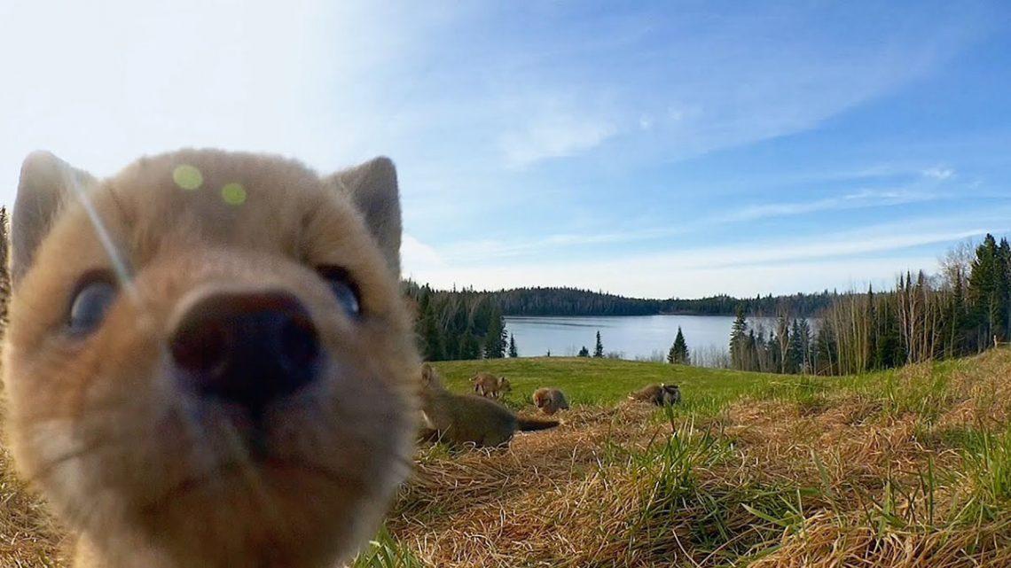 Câmeras escondidas nas florestas do Quebec registam momentos adoráveis
